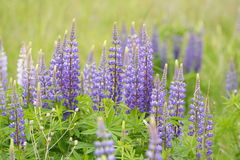 Lupinus polyphyllus. Flower In Bloom royalty free stock image