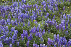 Blue pod Lupine plant meadow Stock Photo