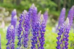 Lupinus polyphyllus flowers. Seasonal natural scene stock image