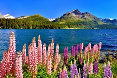 Lupinus polyphyllus at lake Sils Stock Photography