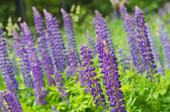 Lupinus polyphyllus Royalty Free Stock Images