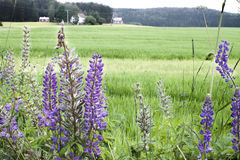Lupinus polyphyllus lupine Stock Photo