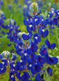 Lupinus texensis, Texas Bluebonnets. Lupinus texensis, the Texas Bluebonnet, has Light-green, velvety, palmately compound leaves usually five leaflets that are stock image