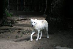 Lupo ad uno zoo che cammina da solo fotografia stock