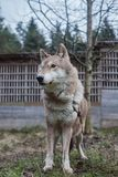 lupo, animale selvatico, lupo grigio, bestia fotografia stock