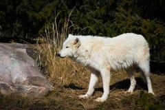 Lupo artico bianco che sta nella foresta sviluppata Fotografia Stock