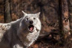 Lupo artico bianco nella foresta con la bocca aperta Fotografia Stock