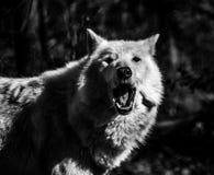 Lupo artico bianco nella foresta con la bocca aperta, in bianco e nero Immagine Stock