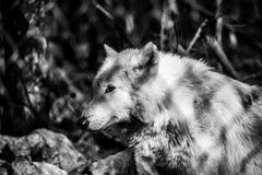Lupo artico bianco nella foresta, in bianco e nero Fotografia Stock