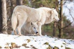 Lupo artico nell'inverno Immagini Stock