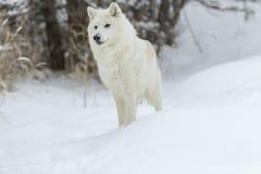 Lupo artico nella neve Fotografie Stock Libere da Diritti