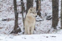 Lupo artico solo in una scena di inverno Fotografie Stock Libere da Diritti