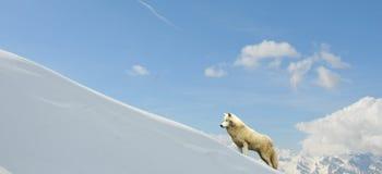 Lupo bianco Fotografia Stock