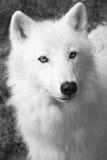 Lupo bianco Fotografie Stock Libere da Diritti