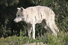 Lupo bianco nel parco nazionale di Yelowstone, U.S.A. fotografie stock