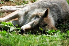 Lupo che dorme al sole fotografia stock