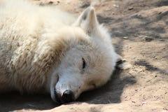 Lupo che dorme al sole immagine stock