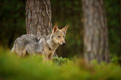 Lupo che si leva in piedi nella foresta Fotografie Stock