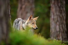 Lupo che si leva in piedi nella foresta Fotografia Stock