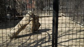 Lupo che va in giro la gabbia di uno zoo stock footage