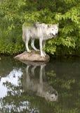 Lupo con la chiara riflessione in un lago Fotografia Stock Libera da Diritti