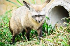 Lupo del dingo. 1 Fotografia Stock Libera da Diritti