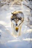 Lupo di caccia con gli occhi selvaggi che cammina nella bella foresta di inverno fotografia stock libera da diritti