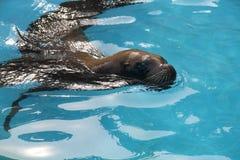 Lupo di mare 2 Fotografia Stock Libera da Diritti