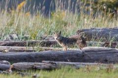 Lupo di prateria del coyote fotografia stock