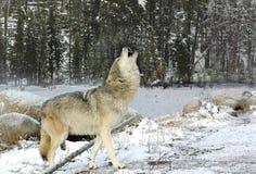 Lupo di urlo nella neve Fotografia Stock Libera da Diritti