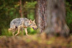 Lupo diabolico di camminata in foresta europian Fotografia Stock