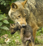 Lupo e cucciolo Fotografia Stock Libera da Diritti