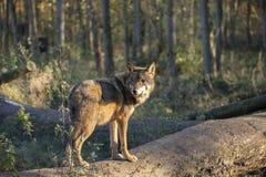 Lupo euroasiatico, lupus di canis lupus immagine stock