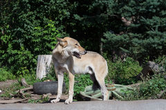 Lupo euroasiatico nello zoo Fotografia Stock