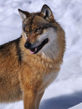 Lupo europeo (lupus di Canis)) Fotografie Stock Libere da Diritti