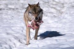 Lupo europeo (lupus di Canis) Fotografie Stock Libere da Diritti