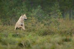 Lupo europeo selvaggio Fotografie Stock Libere da Diritti