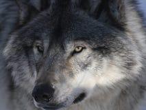 Lupo grigio Fotografia Stock Libera da Diritti