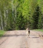 Lupo grigio che cammina giù la strada non asfaltata immagini stock