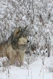 Lupo grigio dell'alfa maschio in spazzola prudente Immagine Stock Libera da Diritti