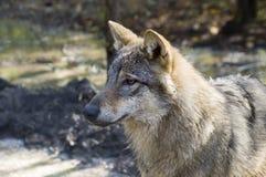 Lupo grigio europeo (lupus di lupus di Canis) Fotografie Stock