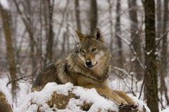 Lupo grigio europeo (lupus di lupus di Canis) Fotografie Stock Libere da Diritti