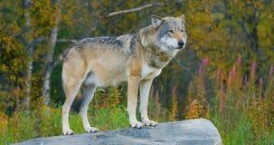 Lupo grigio grande che sta su una roccia nella foresta archivi video
