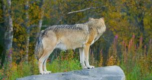 Lupo grigio grande che sta su una roccia nella foresta video d archivio
