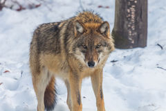 Lupo grigio (lupus di Canis) Fotografia Stock