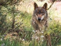 Lupo iberico che si riposa nella foresta Fotografia Stock