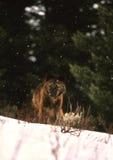 Lupo in inverno Fotografie Stock Libere da Diritti