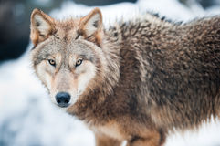 Lupo (lat. Lupus di Canis) Fotografia Stock Libera da Diritti