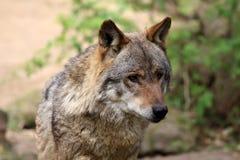 Lupo (lupus di canis) Fotografia Stock