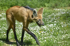 Lupo Maned che cammina sull'erba Fotografia Stock